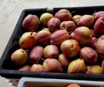 陕西红早酥梨基地批发,七彩虹梨产地大量上市