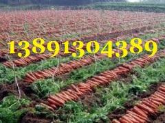 陕西万亩优质红萝卜产地批发大量上市