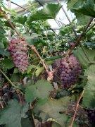 -吉林硬枝嫁接着色香葡萄苗哪有卖的
