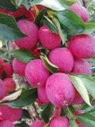-出售质量好果树苗、鸡心果树苗、龙丰果树苗