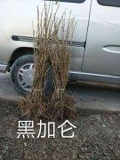 吉林黑加仑苗出售树葡萄苗量大易成活