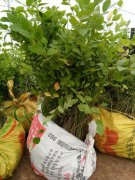 吉林蓝莓苗出售北陆占地蓝莓苗大量价优可送货