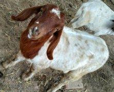 -纯种波尔山羊养殖