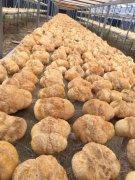 -基地直销猴头菇鲜货、干货、猴头菇粉