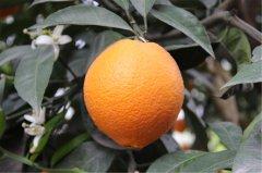 -纽荷尔脐橙苗伦晚脐橙苗红肉脐橙苗九月红脐橙苗爱媛28苗红美人苗出售