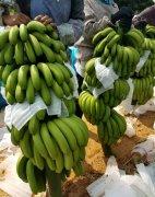 -广东香蕉代办 香蕉代办