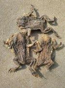 -优质干蟾多少钱一公斤癞蛤蟆干功效作用和使用方法