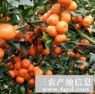 -广西桂林沙糖桔,沃柑等柑桔代办