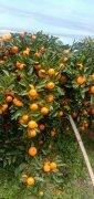 广西桂林灵川实力代办各种柑桔