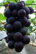 -山东青岛莱西巨峰葡萄即将大量上市
